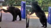 黑熊娴熟开车门找食物 车主被惊呆