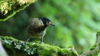 金佛山实拍《眼纹噪鹛》伴有多种好听的鸟叫声