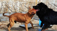 比特犬VS国产藏獒,被藏獒直接勒断骨头咬死