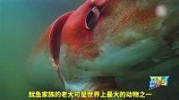 巨型鱿鱼和抹香鲸的生死决斗, 它用粗壮的触手死死缠住抹香鲸!
