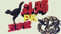 《逗比实验室》:斗鸡VS毒蛇 两强相遇谁会胜?