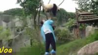 大熊猫一言不合就爬树, 辛苦了下面的饲养员