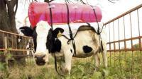 外国牛背上牛屁包, 收集排出的屁当汽车能源!