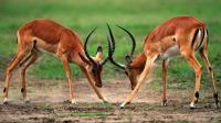 公羚羊打斗, 非洲猎豹100码速度偷袭, 结果统统栽在狮子手里