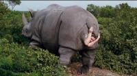 二分钟看完喜剧电影《神探飞机头》, 观光客看犀牛下崽, 结果犀牛肚子里钻出了个人!