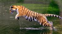 繁殖季节到了, 公老虎异常凶猛, 一切靠实力说话