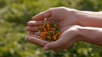 世界最贵辣椒每斤12万, 一小袋就能买辆奔驰, 土豪也不敢随便吃