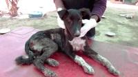 流浪狗意外掉进开水里, 全身皮肤被烫伤已经坏死!