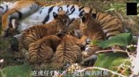 母虎养育了四只幼虎, 需要大量的食物, 但猴子鬼精鬼精的, 常常让母虎空手而归