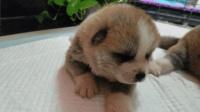 出生三天的秋田犬, 可爱的让人心疼