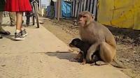 狗狗收留流浪猴子 猴子报恩一直抱着狗狗不放