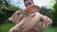 它疯吃疯长成为了世界上最大的兔子