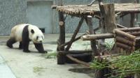 动物园萌宝大熊猫吃饭时根本无视游客的存在