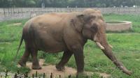 动物园的亚洲象看到游客高兴得跳起了舞