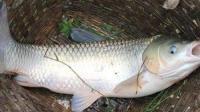 钓鱼视频教程 钓草鱼技巧