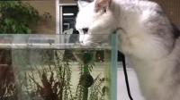 小猫咪对着一缸小鱼垂涎三尺 最后被主人发现了一脸羞愧