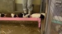 在日本荷兰猪是这样来出售的, 排着队从桥上跑过去, 看中哪个就抱走