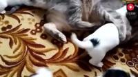 狗妈妈生了一堆宝宝, 自己不带全交了猫咪, 猫咪的反应逗翻了