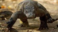 动物世界冷血杀手 科莫多巨蜥的致命攻击