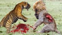 铁证如山: 老虎十招之内即可秒杀狮子, 烫头的真搞不过纹身的!