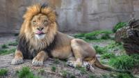 夫妻俩把养了很久的狮子放走, 几年后狮子竟带着孩子来看他们 好暖心!