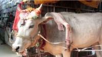 印度人视为天神下凡的两头畸形牛,一头5条腿,一头3只眼
