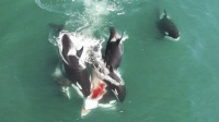 罕见画面极具震撼! 逆戟鲸组团追杀落单小须鲸并将其残忍咬死