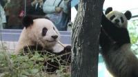 """实拍: 大熊猫""""点点""""和""""萌兰""""首次亮相北京动物园"""