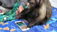 猴子开箱上手iPhone8 , 想玩王者荣耀里的孙悟空, 真是开玩笑