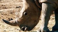 """在南非""""动物福袋"""", 抽中恋爱的犀牛"""
