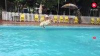 金毛这次跳水应该多给几分的, 虽然这水花大了点但这动作优美啊