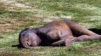 象宝宝躺地上装死, 吓得象妈妈喊来饲养员, 谁知道人家只是睡着了