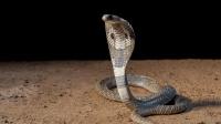 """农村表哥抓到一条12斤的眼镜蛇, 都长""""胡子""""了, 太瘆人了"""