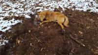野狼乔装成猎犬进村偷羊, 遭陷阱活捉, 露出庐山面目