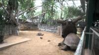 两只乌龟打架, 真是让人笑喷了