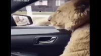 养了一只金毛, 每次开车带它出门, 都垮着脸, 一脸不情愿的表情! 这金毛纯不纯?