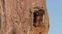 非洲干旱地区的救命树, 一棵树可以养活一群人还可以居住