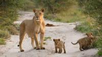 面对公狮野蛮霸道的行为, 母狮只能无奈和服从!
