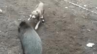 比特犬单挑野猪王, 结果败在野猪的獠牙下!
