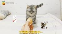 萌猫夹子: 给猫咪喂橘子吃, 猫咪闻了闻, 没想到它反应这么萌!