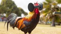 美国为鸡发明的VR眼镜, 让鸡美味100倍, 据说一只鸡卖5万
