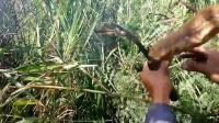 越南大叔挺进荒野, 在杂草堆惊现野蜂窝, 冒险用镰刀割下蜂蜜!
