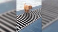 """小金毛出门逛街突遇""""拦路虎"""", 狗狗的应对方法直接把路人乐疯!"""