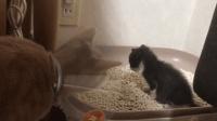 #冬日吸猫#小奶猫第一次学用猫砂, 猫妈妈一脸担忧的看着, 像不像第一天去幼儿园的你?