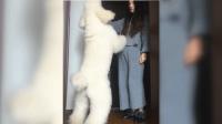 漂亮女主人刚到家, 狗狗就迫不及待地扑上来打招呼, 让人羡慕!