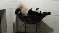"""动物园唯一熊猫""""男神"""", 竟是个自嗨型选手"""
