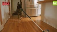 这只德国牧羊犬厉害了! 接的了飞盘, 拖得了地, 还能照顾宝宝, 全能保姆型选手