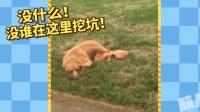 金毛偷偷在院子挖洞被发现, 扑通一声拿自己堵上了洞, 假装啥事也发生!