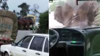 大象公路打劫客车