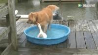 金毛占了鸭子的水盘, 接下来打起来了, 真是一对小冤家!